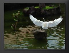 Feathers and Tails  Balinese Garden (bocavermelha-l.b.) Tags: vacation water fotolog nusadua featherstails inbali inindonesia wingsinflight asasemvo    m