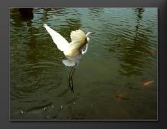Feathers and Tails – Balinese Garden (bocavermelha-l.b.) Tags: nusadua egrettagarzetta featherstails garçabrancapequena garçotabranc inbali inindonesia эгрет 雪に覆われたシラサギ 多雪的白鷺 mаленькийэгрет