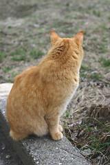 Surveying his Domain (alida saxon) Tags: cadfael cat cats furryfriday curb backyard bbqing back behind orange tabby manx