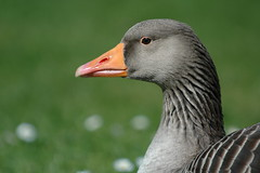 Daisy Goose I (frielp) Tags: beak claremont surrey england green grass bird goose geese
