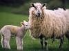Sheep (Alicestronaut) Tags: countryside sheep shrewsbury april2005 lamb plealey