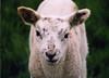 Lamby (Alicestronaut) Tags: countryside sheep shrewsbury april2005 lamb