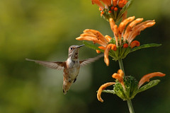 Rufous Hummingbird (wmchu) Tags: bird topf25 wow ilovenature hummingbird searchthebest gutentag 100v10f 2550fav hummingbirds lionstail rufoushummingbird selasphorusrufus wildbird leonotisleonurus