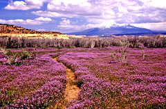 US_UT_Canyonlands_NP_Spring_Flower_Trail (cirem) Tags: flowers nature clouds wow landscape utah nationalpark spring purple gutentag canyonlandsnationalpark canyonlands thesource