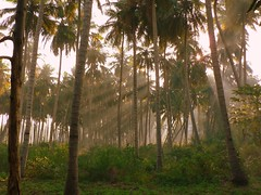 Hope springs eternal (Pandiyan) Tags: morning light sun sunlight ilovenature hope bright grove coconut rays pandiyan optimism shafts beams skepticism cynicism trichy