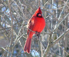 Red (nature55) Tags: red germantown nature birds tag3 ilovenature outdoors tag2 tag1 cardinal wildlife aves 100v10f cardinaliscardinalis northerncardinal 1on1halloffame 117explorepages