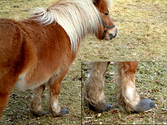 Neglect (Jenny!) Tags: horses animals neglect pony shetlandpony hoofs shetlander