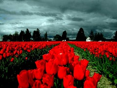 Tulip Rows (ricko) Tags: flowers topf25 field clouds washington topf50 500v20f tulips deleteme10 topv1111 topv999 interestingness1 topv777 4ofakind 1500v60f abigfave 123f50 colourartaward