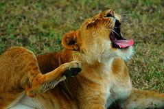 lioness (dylan.c) Tags: africa travel tree tanzania king wildlife lion free safari leopard crater zebra hippo wilderness plains exploration lioness grasslands stork masaii easternafrica