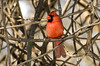 The Little Red General (martytdx) Tags: red birds topv111 vines backyard cardinal hedge thrush songbird cardinaliscardinalis northerncardinal