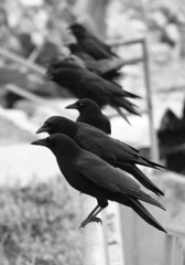 Crows in a Row - by BugMan50