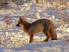 sunfox1 (winteridge2) Tags: foxy top20np wildlife fox neighbors foxes grayfox aroundhome top20foxes bestnaturetnc07