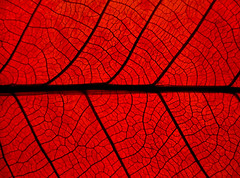red leaf (Mr.  Mark) Tags: life light red detail macro wow leaf interesting perfect saveme3 deleteme10 web stock spiderman fv5 fave 200 faves vein 100 topf100 topf200 flickrchallengegroup markboucher world100f
