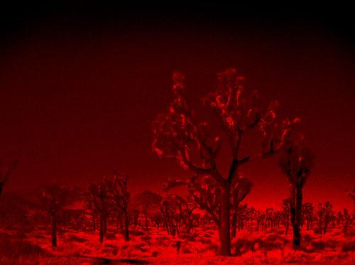 color infrared. joshua tree, ca. 2005.