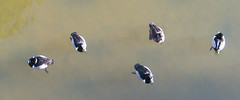 Ring-necked Ducks from above (J Gilbert) Tags: arizona bird water phoenix canon duck g3 ringnecked papagopark