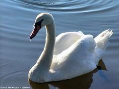 Mute Swans by Dave Barkley (PA & Lat) Tags: st dave river joseph swan mute barkley mishawaka ias