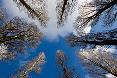 Urban Copse (ElseKramer) Tags: from blue trees light sky cloud white tree beautiful up amsterdam clouds d50 circle star cool nikon looking angle shaped quality wide perspective 50100fav 1224mmf4g below nikkor inspirational pointing 1224mm upward towering copse elsekramer skysthelimit