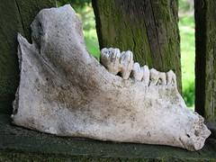 Im Garten ausgegraben, Kuhkiefer? (kapuzina) Tags: garten uckermark knochen lunow