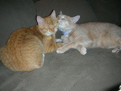 telling secrets (spilltojill) Tags: pictures favorite orange pet cats pets cute cat orangecat leo tabby favorites fave tabbies faves piper orangetabby charmed nugget myfaves gingercat kittycats orangecats nuggety orangetabbies piperandleo piperleo petfamily favepics cc100 jilbeansfaves oranget ourfurryfamily jilbean3 jillwarner ourfurryfamilyphotobook httpwwwjilbeancom wwwjilbeancom picturesbyjillsaperstein wwwourfurryfamilycom ourfurryfamilycom