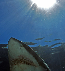 face and sun (ScottS101) Tags: mexico shark jackie allrightsreserved greatwhite greatwhitesharks guadalupeisland copyrightscottsansenbach2008