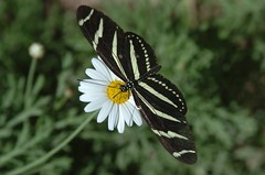 (ONE/MILLION) Tags: flowers arizona plants white black love nature colors butterfly spring stripes blooms catchy