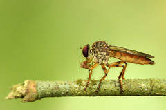 Robber fly with prey (Andrew Phelps) Tags: macro green topv111 1025fav wow bug insect amazing fantastic costarica dof bokeh great mosquito tiny robberfly prey cahuita asilidae anythingfantastic topvaa