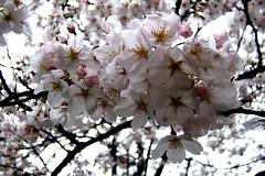 Sakura (MShades) Tags: flowers white flower japan kyoto    sakura cherryblossoms  takasegawa  kiyamachi
