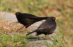 Blackbirds / Melros (jvverde) Tags: back