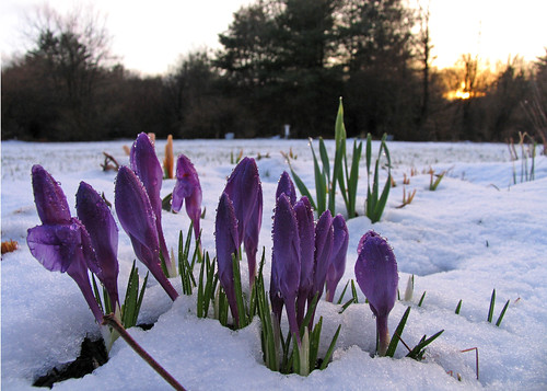 Crocus blossoms (after an early spring snow fall)