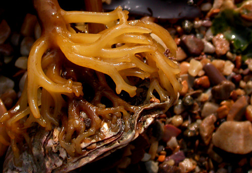 root of seaweed