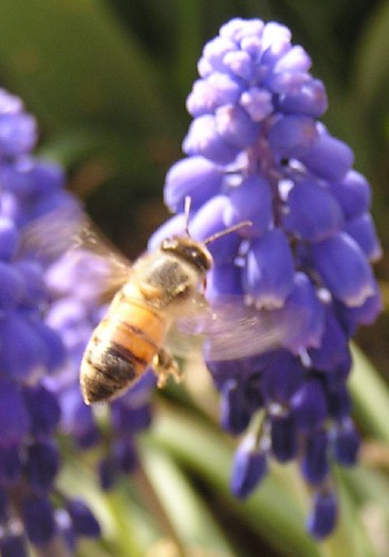 "bee on grape hyacinth • <a style=""font-size:0.8em;"" href=""http://www.flickr.com/photos/10528393@N00/125490257/"" target=""_blank"">View on Flickr</a>"