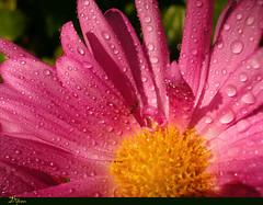 pequeña trabajadora... (Difusa) Tags: chile flowers naturaleza flores flower macro primavera top20np spring flora ant flor natura top20flower hormiga difusa fyflmff fyflmff1 ltytr2 ltytr1 lovenaturewinner