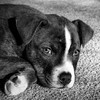 Happiness is a warm puppy (docoverachiever) Tags: portrait blackandwhite puppy pet mixedbreed eyes 9weeks dog stare nose eevah carpet llama test test2 vlado