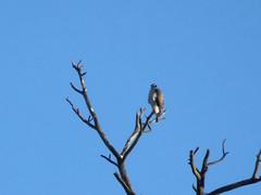 Northern Goshawk (farpost) Tags: birds