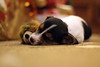 16th December 2016 (lucy★photography) Tags: jackrussell terrier puppy pup christmas tree sleeping