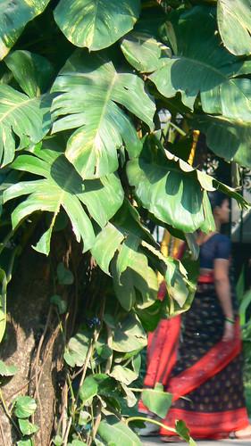 Images Of Money Plant. Money plant