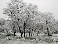 Frosty trees in meadow (walla2chick) Tags: trees winter usa fog wow frost freezing washingtonstate wallawalla walla