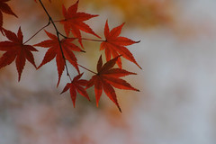 (rosemary*) Tags: 2005 red nature topf25 leaves wow catchycolors momiji 500plus20 1000v40f