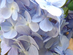 Hortnsia (marlenells) Tags: blue flower macro topc25 topv111 510fav wow topv333 topv1111 topc50 hydrangea quinta hortensia 1000v i500