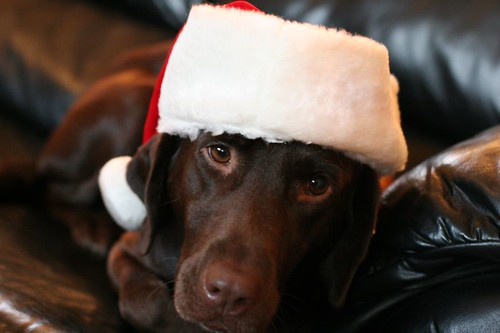 chocolate labrador - christmas