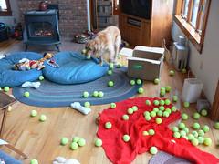 Abby enjoying her 100 used tennis balls - by Stew Stryker