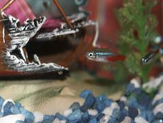 Neon Tetra (KNEU Photo) Tags: neontetra tetra fish fishtank blue wreck white neon red