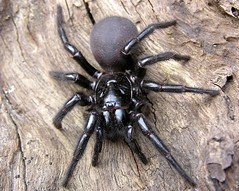 The Sydney Funnel Web spider (Dermal Denticles) Tags: hairy black nature animal animals spider dangerous legs pics web arachnid sydney australian picture australia funnel deadly funnelwebspider funnelweb robustus notwhatyouwanttofindwhilstworkinginthebush sydneyfunnelwebspider atrax sydneyfunnelweb