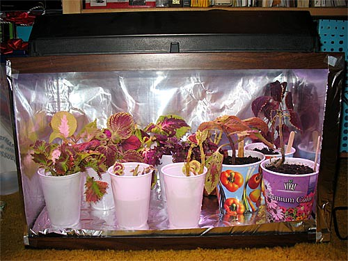 Coleus Cuttings Aquarium (Front View)