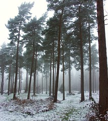 Snowy  mist (algo) Tags: mist snow nature misty fog wow outdoors photography topv333 chilterns perspective algo bushes pinetrees happynewyear treetrunks undergrowth rosebaywillowherb chilternforest forestrycommission treeframe