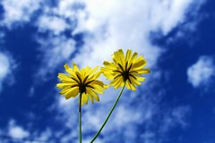 sky,flower,sunshine,and breeze (Luc..) Tags: blue sky flower ilovenature happy taiwan attitude luc aery