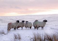 Sheep (sparty lea) Tags: uk england snow saveme6 sheep deleteme10 january delete4 save10 pastoral heights savedbythedeltemeuncensoredgroup weeklysurvivor moorland ewe ewes ybp weardale