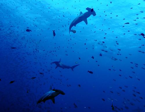 Hammerhead Sharks in the Galapagos Islands