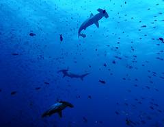 3hh1643w2 (gerb) Tags: blue topf25 beautiful topv111 1025fav 510fav wow shark topv555 topv333 underwater lovely1 topv1111 topv999 scuba loveit galapagos pi wildanimal blogged topv777 d100 topv3333 animalplanet hammerhead aquatica helluva topvaa cotcmostfavorited 1500v60f specanimal pfo animalkingdomelite wowx 3waychallenge 3wc tvx abigfave 3w5 top20blue photofaceoffwinner pfogold