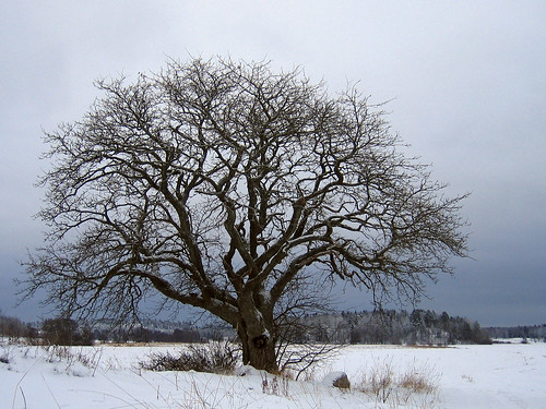 That old tree (January 8, 2006)